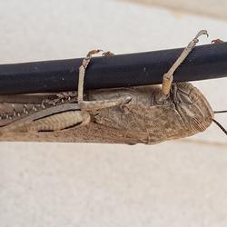 Krekel op mijn antennekabel