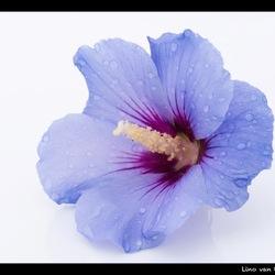 Hibiscus...!