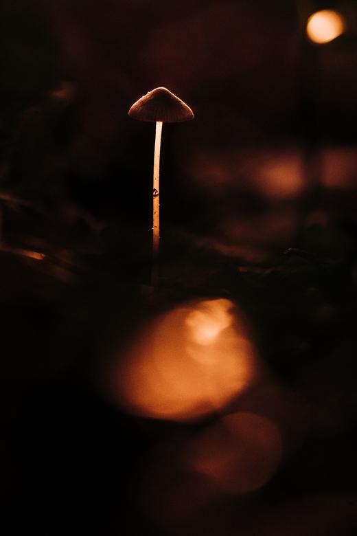 Glow in the dark - Deze piepkleine paddenstoel ving nog net het licht van de ondergaande zon. Plat op de buik, nat en onder de modder heb ik deze foto