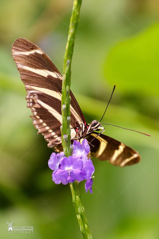Diergaarde Blijdorp  - De zebravlinder in het Amazonica van Diergaarde Blijdorp. <br /> <br /> De spanwijdte bedraagt 70 tot 90 mm. De vlinder heeft