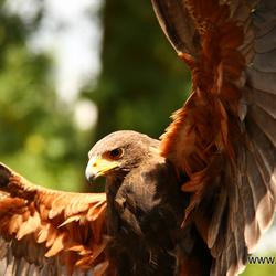 Roofvogelshow Orvelte