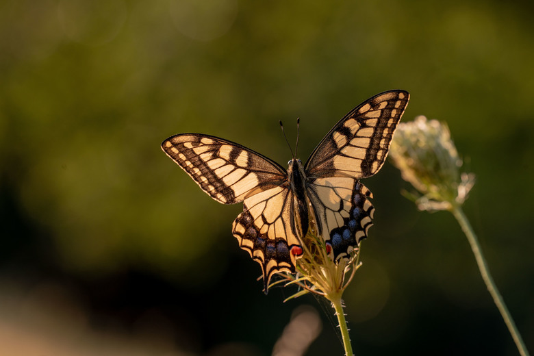 Open vleugels - Vanavond kwam ik de page weer tegen, toen de zon op de vleugels kwam gingen ze heel even open. Wat een schoonheid van een vlinder is h