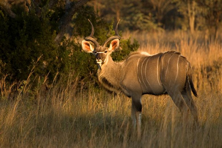 Koedoe - Aan het einde van een gamedrive, net voordat de zon zou ondergaan en het te donker zou worden, zagen we deze koedoe in Kololo, Zuid Afrika. W