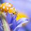Een bijzonder lieveheersbeestje