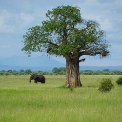 Tanzania - Olifant