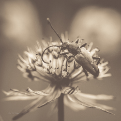 Astrantia - Insect