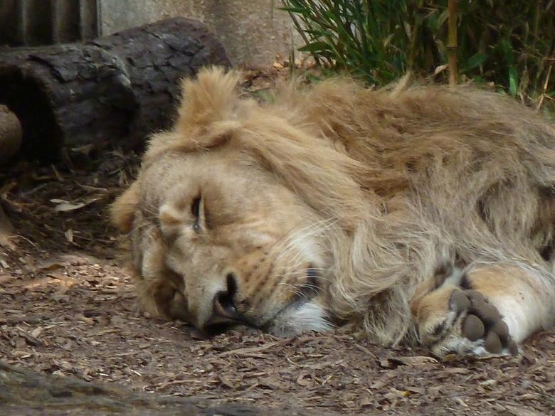 Leeuw houdt siesta - Deze leeuw houdt nog even een paar dagen pauze - tot zondag, dan mag hij weer brullen.