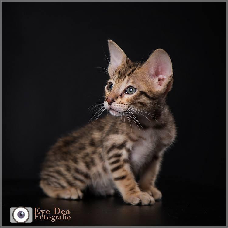 Savannah kitten - Sinds jaaaaaaaren weer een keer een upload van mijn kant. En ik begin met dit prachtige kitten van het fascinerende kattenras: Savan