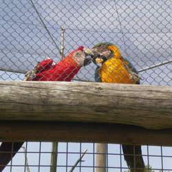 kussende Papagaaien