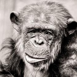 Oude aap.