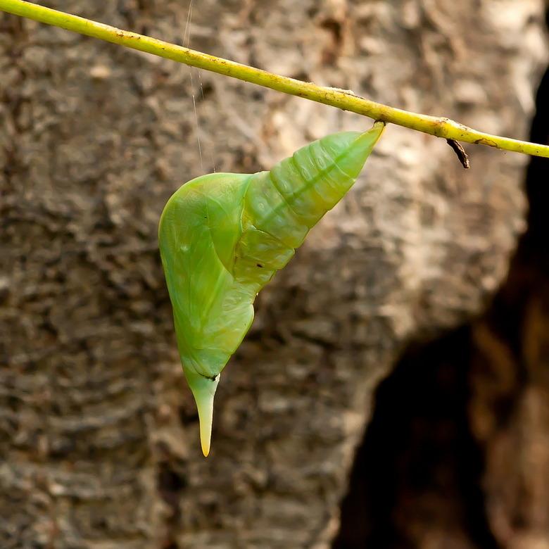pop Phoebis - De natuur gaat gewoon zijn gang in de vlindertuin van Artis.