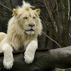 een afrikaanse witte leeuw