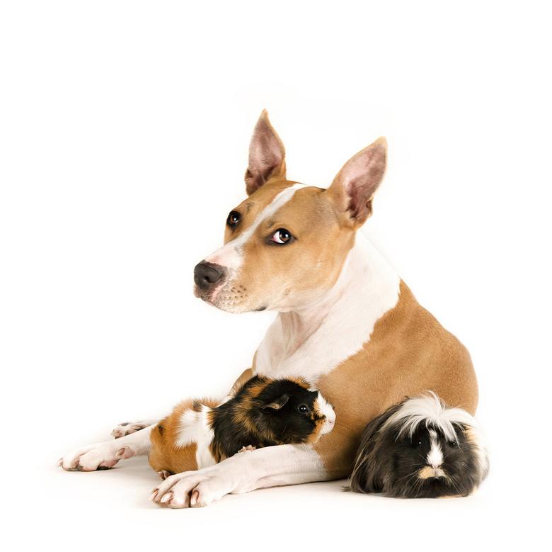 """Bijzondere vriendschap - Staffordshire terrier Amore (what&#039;s in a name <img  src=""""/images/smileys/wilt.png""""/>) en haar caviavriendjes"""