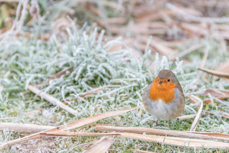 Roodborsje in winterse omstandigheden - Vanwege de vrieskou leek dit vogeltje niet meer te kunnen vliegen. Het kwam daardoor heel dichtbij en leek nie