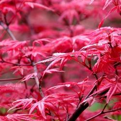 Rode bladeren in de lente