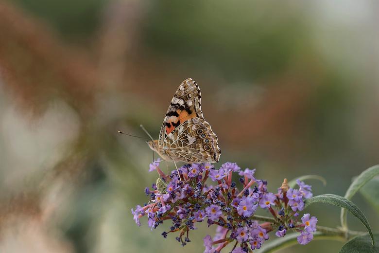 Painted lady - Wat is de distelvinder een mooie vlinder met al die kleine tekeningen in haar vleugels. Ze zijn nu bij mij in de buurt in grote getalle
