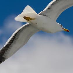 Zeemeeuw in vogelvlucht