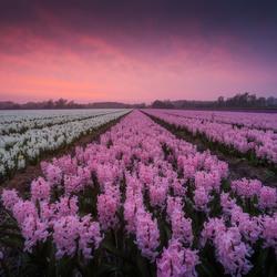 Hyacinten @ zonsondergang