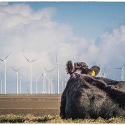 Koe en windmolen