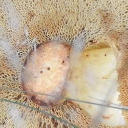 Eekhoorntjesbrood onderzijde