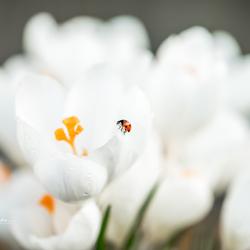 Lieveheersbeestje klimmend op de blaadjes van de krokus