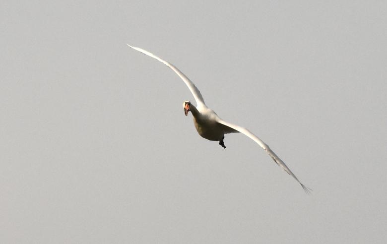 Zwaan in de bocht - Deze zwaan staat op het punt de bocht te nemen en gebruikt zijn snavel als richtingaanwijzer.