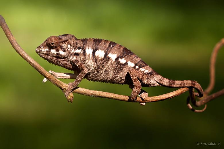 pantertje - Panterkameleon(netje) met de krul in zijn staart. Hij is een beetje boos vandaar al die lichte en donkere vlekken. Het licht is ietwat te
