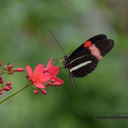Geelband-Passiebloemvlinder