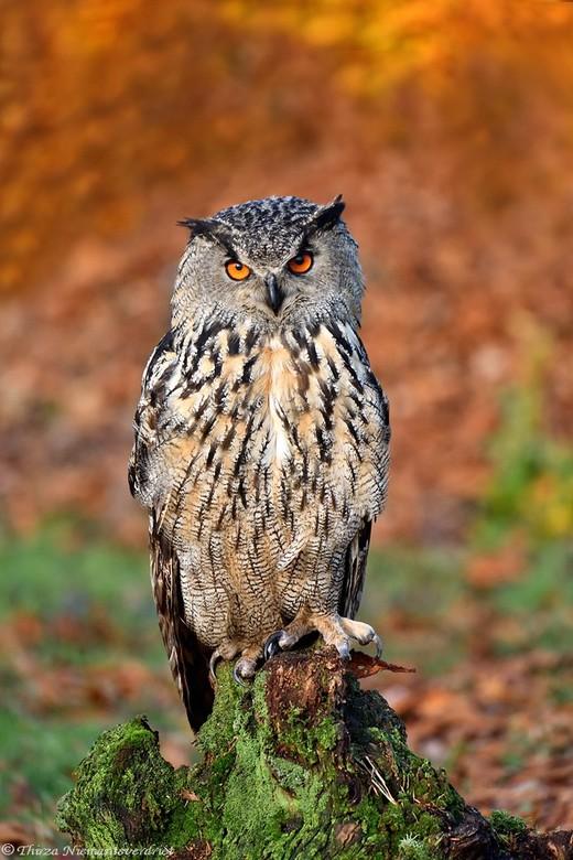 Strike a Pose - Portret van een oehoe in herfstsfeer. Een grote uilensoort prachtig verenkleed en opvallende ogen.