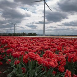 Hollandse glorie