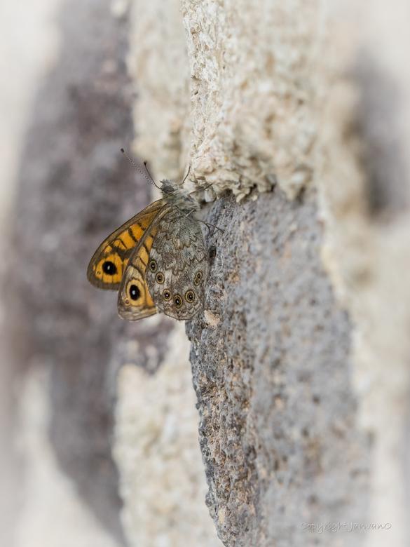 Argusvlinder op kalkzandsteen