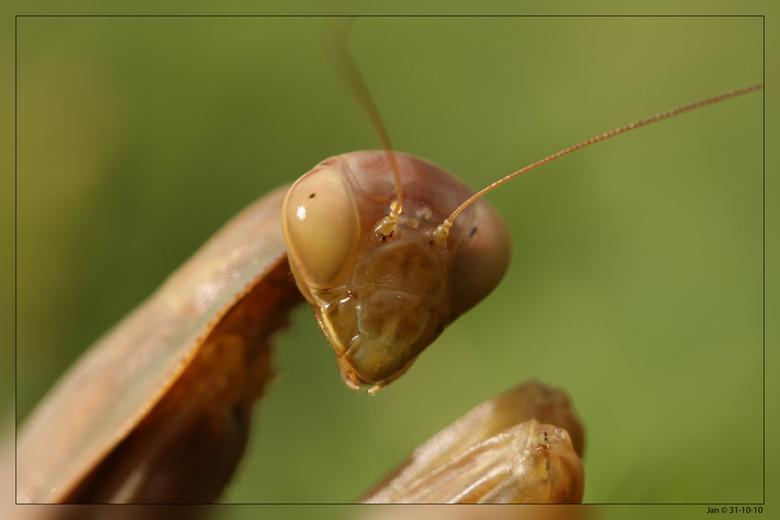 Bidsprinkhaan - Algarve 31-10-10<br /> Bidsprinkhanen grijpen alles wat ze fysiek aankunnen, waaronder prooien groter dan zijzelf. Vergeleken met and