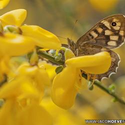 Zoektocht naar nectar.