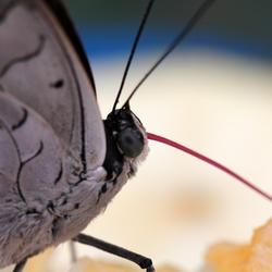 close up vlindertong
