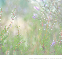 A touch of heather