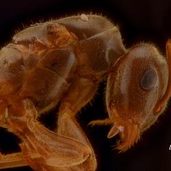 Portret van een mier