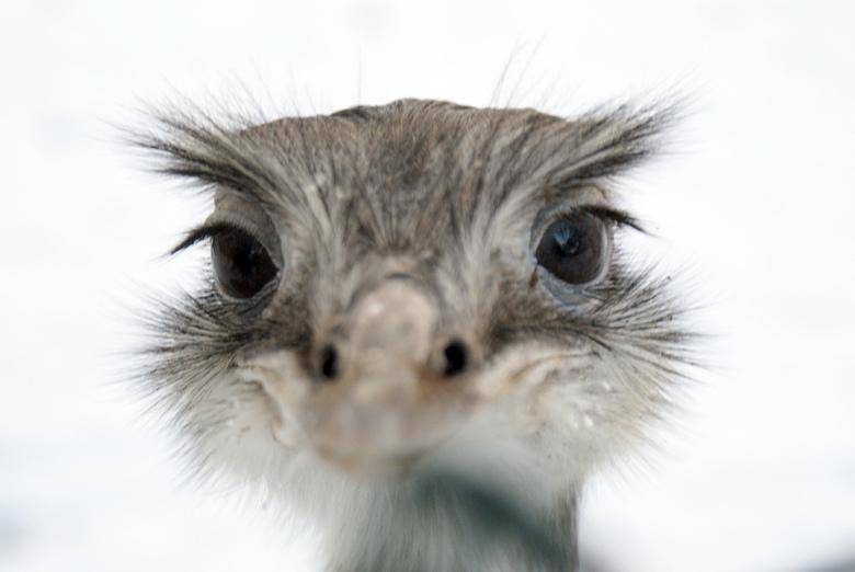 Naar sneeuwvlok happende struisvogel