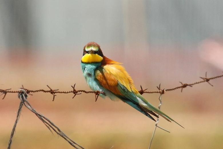 Bijeneter - In ieder geval een zeer kleurrijke vogel en niet altijd even gemakkelijk op de foto te krijgen. Deze bijeneter bleef wel lang genoeg zitte