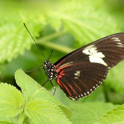 Heliconius Erato (Geelband-passiebloemvlinder)