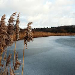 Riet rond bevroren meer