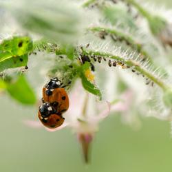 Lieveheersbeestjes aan het paren