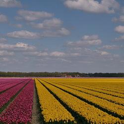 Tulpen Noordoostpolder.