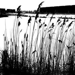 riet in zwart-wit