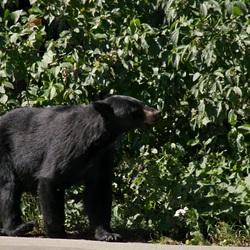 Onverwachte ontmoeting met zwarte beer