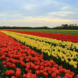 kleurrijke tulpen velden