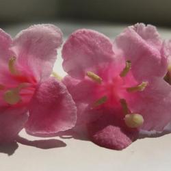 Bloemen van de Weigelia