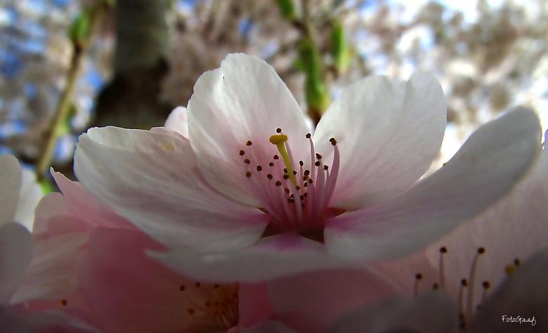 Net lentesneeuw - De natuur is sinds een aantal weken in stroomversnelling, overal bloeien de prachtige bloesembomen in volle pracht. Ik heb vooral ve