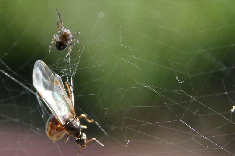 vliegende mier - deze vliegende mier werd gevangen in het web en maakte het daarna niet lang meer het spinnetje maakte korte mette met de mier<br />