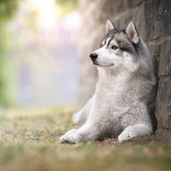Husky in Durbuy