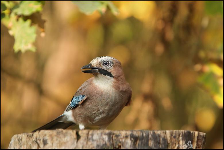 Gaai - de Gaai een schuwe vogel en niet gemakkelijk om deze vast te leggen, dus toch heel blij met dit  resultaat...<br /> <br /> Iedereen bedankt v